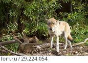 Купить «Европейский волк. Grey wolf», фото № 29224054, снято 21 января 2016 г. (c) Галина Савина / Фотобанк Лори