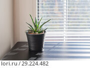 Купить «Plant in small pot on background of window with blinds», фото № 29224482, снято 20 октября 2017 г. (c) Kira_Yan / Фотобанк Лори