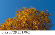 Купить «Autumn trees with yellowing leaves against the sky», видеоролик № 29231062, снято 29 сентября 2018 г. (c) Игорь Жоров / Фотобанк Лори