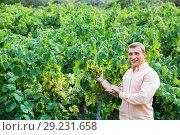 Купить «Vintner checking wine grape and leaves in summer day», фото № 29231658, снято 22 сентября 2016 г. (c) Яков Филимонов / Фотобанк Лори