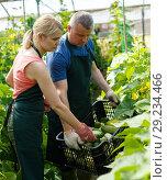 Купить «Farmer couple harvesting cucumbers», фото № 29234466, снято 5 июля 2018 г. (c) Яков Филимонов / Фотобанк Лори