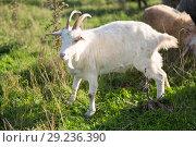 Купить «goats on the field», фото № 29236390, снято 4 октября 2018 г. (c) Типляшина Евгения / Фотобанк Лори