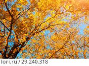 Купить «Autumn trees - orange autumn trees tops against blue sky. Autumn natural view of autumn yellow trees», фото № 29240318, снято 9 октября 2016 г. (c) Зезелина Марина / Фотобанк Лори