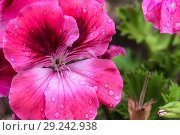 Купить «The mottled geranium flower in its full bloom.», фото № 29242938, снято 18 июня 2017 г. (c) age Fotostock / Фотобанк Лори