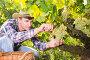 Купить «Man gathering harvest of white grapes», фото № 29248242, снято 13 сентября 2018 г. (c) Яков Филимонов / Фотобанк Лори