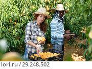 Купить «Woman putting gathered peaches in crates», фото № 29248502, снято 12 июля 2018 г. (c) Яков Филимонов / Фотобанк Лори