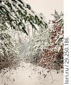 Купить «snowy pine forest landscape in the morning», фото № 29250186, снято 2 декабря 2016 г. (c) Tetiana Chugunova / Фотобанк Лори