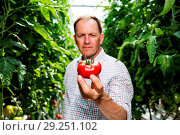 Купить «This summer, Asda has introduced a brand-new type of tomato – the Goutini – after a four-year trial process. Grown in Southport, Asda's experts in tomatoes...», фото № 29251102, снято 23 мая 2018 г. (c) age Fotostock / Фотобанк Лори