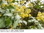 Купить «Плющ, цветы крупным планом», фото № 29256534, снято 1 октября 2018 г. (c) Юлия Бабкина / Фотобанк Лори