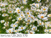 Цветок, ромашка. Стоковое фото, фотограф Целоусов Дмитрий Геннадьевич / Фотобанк Лори
