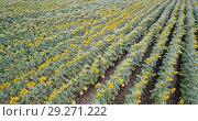 Купить «Image of field of sunflowers at sunny day, top view of landscape», видеоролик № 29271222, снято 25 августа 2018 г. (c) Яков Филимонов / Фотобанк Лори