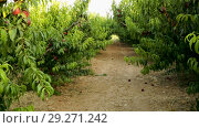 Купить «Organic peaches on tree branch in sunny garden at summer, nobody», видеоролик № 29271242, снято 27 августа 2018 г. (c) Яков Филимонов / Фотобанк Лори