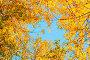 Купить «Autumn tree tops- orange autumn trees tops against blue sky. Autumn trees branches against blue sky in sunny day», фото № 29271722, снято 9 октября 2016 г. (c) Зезелина Марина / Фотобанк Лори