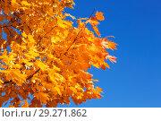 Купить «Желтые осенние яркие кленовый листья на фоне голубого неба», фото № 29271862, снято 11 октября 2018 г. (c) Наталья Волкова / Фотобанк Лори