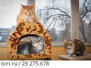 Купить «Three friendly cats lie on the veranda, an American shorthair cat, a cat of the British breed and a Russian Siberian cat.», фото № 29275678, снято 14 марта 2016 г. (c) Акиньшин Владимир / Фотобанк Лори