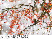 Купить «spindle or euonymus branch with fruits in winter», фото № 29278682, снято 11 ноября 2016 г. (c) Syda Productions / Фотобанк Лори