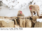 Купить «japanese macaques or snow monkeys in hot spring», фото № 29279790, снято 7 февраля 2018 г. (c) Syda Productions / Фотобанк Лори