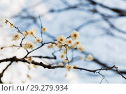 Купить «close up of beautiful sakura tree blossoms», фото № 29279934, снято 11 февраля 2018 г. (c) Syda Productions / Фотобанк Лори
