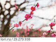 Купить «close up of beautiful sakura tree blossoms», фото № 29279938, снято 11 февраля 2018 г. (c) Syda Productions / Фотобанк Лори