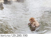 Купить «japanese macaque or snow monkey in hot spring», фото № 29280190, снято 7 февраля 2018 г. (c) Syda Productions / Фотобанк Лори
