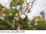 Купить «close up of beautiful sakura tree blossoms», фото № 29280370, снято 11 февраля 2018 г. (c) Syda Productions / Фотобанк Лори