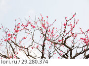 Купить «close up of beautiful sakura tree blossoms», фото № 29280374, снято 11 февраля 2018 г. (c) Syda Productions / Фотобанк Лори
