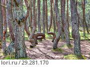 Купить «Калининградская область. Куршская коса. Дюна Круглая. Танцующий лес», фото № 29281170, снято 2 мая 2018 г. (c) Parmenov Pavel / Фотобанк Лори