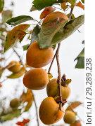 Купить «Ripe orange persimmon fruits on tree branch», фото № 29289238, снято 27 сентября 2018 г. (c) Юлия Бабкина / Фотобанк Лори