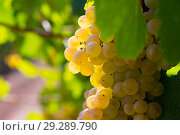 Купить «Ripe white grapes on vine», фото № 29289790, снято 15 декабря 2018 г. (c) Яков Филимонов / Фотобанк Лори