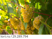 Купить «White grapes with blurred vineyard background», фото № 29289794, снято 15 декабря 2018 г. (c) Яков Филимонов / Фотобанк Лори