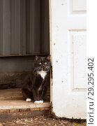 Купить «Молодой пушистый черный кот с белой манишкой сидит у распахнутой белой двери сарая», фото № 29295402, снято 21 апреля 2018 г. (c) Наталья Николаева / Фотобанк Лори