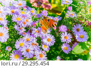 Bright autumn floral natural background with butterfly on purple flowers in a flowerbed in the garden. Indian summer. Sunny day. Стоковое фото, фотограф Светлана Евграфова / Фотобанк Лори