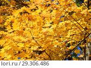 Купить «Золотая осень. Желтые, оранжевые кленовые листья», эксклюзивное фото № 29306486, снято 11 октября 2018 г. (c) lana1501 / Фотобанк Лори
