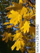 Ярко-желтые кленовые листья на ветке осенью в октябре. Стоковое фото, фотограф lana1501 / Фотобанк Лори