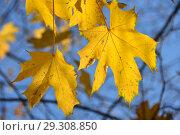 Золотая осень. Ярко-желтые кленовые листья. Стоковое фото, фотограф lana1501 / Фотобанк Лори