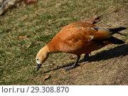 Огарь, или красная утка (лат. Tadorna ferruginea) щиплет травку (2018 год). Стоковое фото, фотограф lana1501 / Фотобанк Лори
