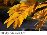 Купить «Веточка с желтыми листьями рябины. Золотая осень», эксклюзивное фото № 29308874, снято 18 октября 2018 г. (c) lana1501 / Фотобанк Лори