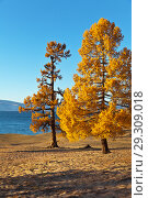 Купить «Golden autumn on Baikal Lake. Bright yellowed larches on the shore of Olkhon Island in the sunset light», фото № 29309018, снято 13 октября 2018 г. (c) Виктория Катьянова / Фотобанк Лори