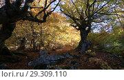 Купить «Буковый лес осенью на Демерджи», видеоролик № 29309110, снято 13 октября 2018 г. (c) Яна Королёва / Фотобанк Лори