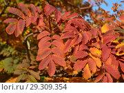 Купить «Золотая осень. Веточки с красно-желтыми листьями рябины в парке», эксклюзивное фото № 29309354, снято 18 октября 2018 г. (c) lana1501 / Фотобанк Лори