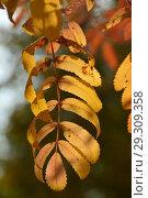 Купить «Желтый лист рябины. Золотая осень», эксклюзивное фото № 29309358, снято 18 октября 2018 г. (c) lana1501 / Фотобанк Лори