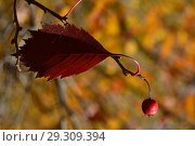 Купить «Красная ягода и лист боярышника на кусте в октябре», эксклюзивное фото № 29309394, снято 15 октября 2018 г. (c) lana1501 / Фотобанк Лори