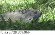 Купить «Big green iguana on a green grass», видеоролик № 29309966, снято 10 октября 2008 г. (c) Куликов Константин / Фотобанк Лори