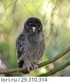 Купить «Great grey owl or great gray owl (Strix nebulosa). Chick», фото № 29310314, снято 16 июля 2018 г. (c) Валерия Попова / Фотобанк Лори