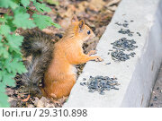 Купить «Close-up photo of a small reddish-haired European squirrel gnawing seeds.», фото № 29310898, снято 21 июля 2018 г. (c) Акиньшин Владимир / Фотобанк Лори