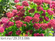 Купить «Bright autumn floral natural background with blooming pink flowers sedum (stonecrop) on a flowerbed in the garden. Succulent plant and herbal medicine, traditional medicine. Indian summer. Sunny day», фото № 29313086, снято 7 октября 2018 г. (c) Светлана Евграфова / Фотобанк Лори