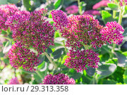 Купить «Bright autumn floral natural background with blooming pink flowers sedum (stonecrop) on a flowerbed in the garden. Succulent plant and herbal medicine, traditional medicine. Indian summer. Sunny day», фото № 29313358, снято 7 октября 2018 г. (c) Светлана Евграфова / Фотобанк Лори