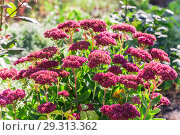 Bright autumn floral natural background with blooming pink flowers sedum (stonecrop) on a flowerbed in the garden. Succulent plant and herbal medicine, traditional medicine. Indian summer. Sunny day. Стоковое фото, фотограф Светлана Евграфова / Фотобанк Лори