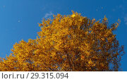 Купить «Autumn trees with yellowing leaves against the sky», видеоролик № 29315094, снято 29 сентября 2018 г. (c) Игорь Жоров / Фотобанк Лори