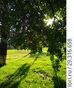 The rising sun makes its way through the foliage of apricot tree. Стоковое фото, фотограф Дмитрий Морозов / Фотобанк Лори